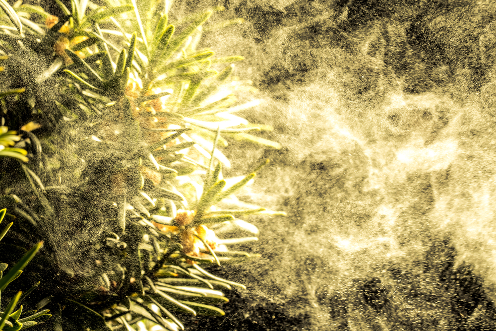 A cloud of pollen bursts from a pine tree. Think your seasonal allergies are intense this year? It might be climate change, not your imagination.