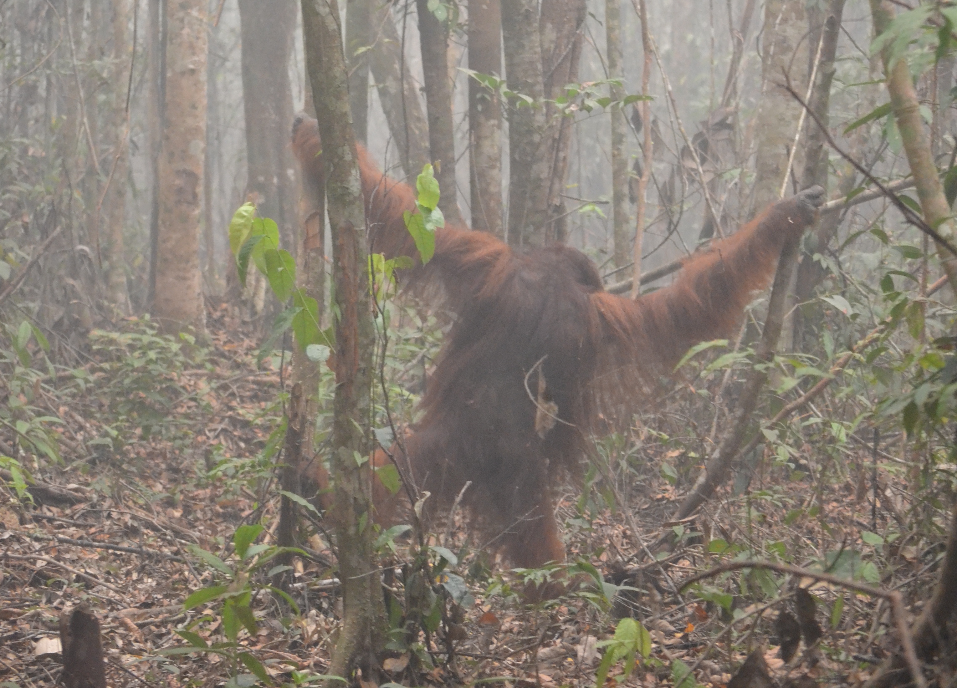 For wild animals like orangutans, an already critically endangered species, avoiding wildfire smoke during fire season is nearly impossible, and a new study found that smoke is just as harmful to orangutans as it is to humans.