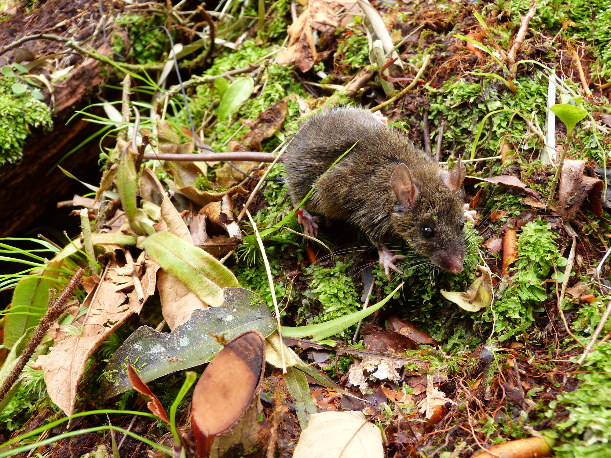 With the discovery of four new types of mice on Mindoro Island in the Philippines, a team of scientists has identified the smallest known island where several species of animals have evolved from one single species.