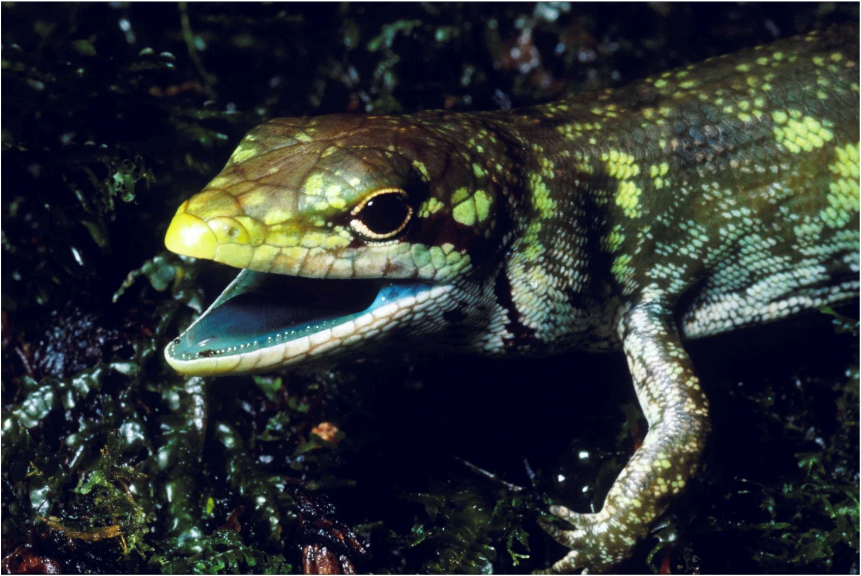 Lizards known as green-blooded skinks manage to remain healthy despite having levels of bile that are 40 times higher than the lethal concentration in humans.
