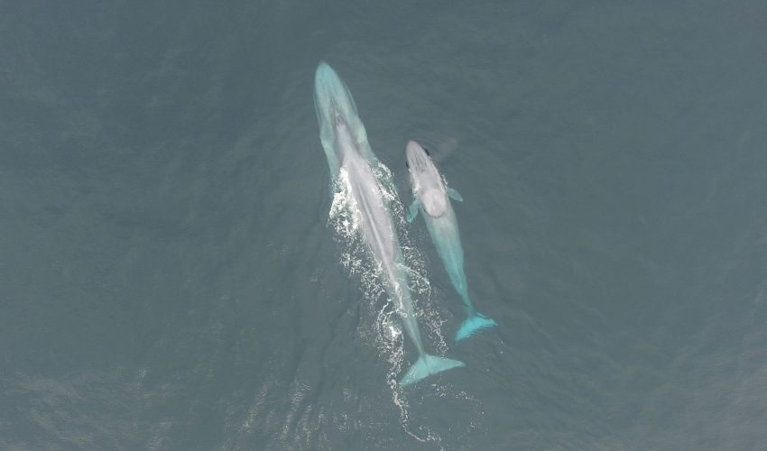 A new population of genetically distinct blue whales was discovered in the South Taranaki Bight (STB) between the North and South Islands of New Zealand.
