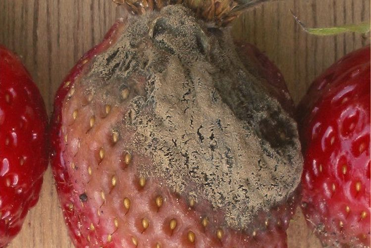 Plants can fight back against pathogens that cause disease like a fungus that takes over a fruit or vegetable with gray mold disease. The way that plants ward off unwanted pathogens is a subject of much interest to researchers as it could help ensure food security.