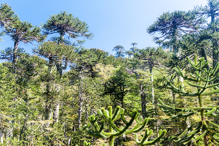 A new study has revealed that now-endangered forests in Chile, Brazil, and Argentina were first planted by ancient communities and did not develop through changes in early climate as previously believed.
