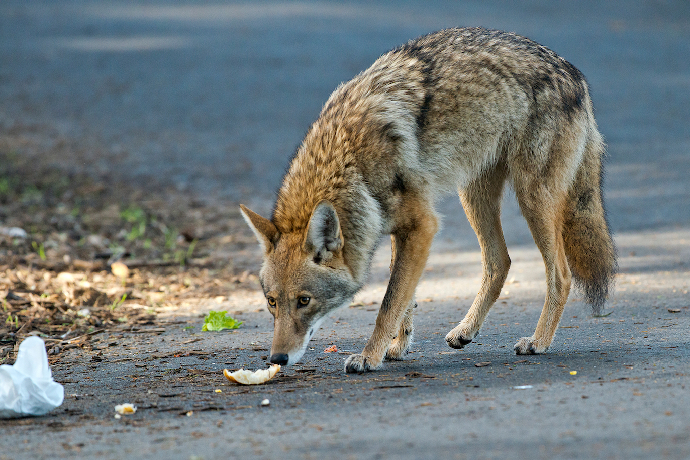 Coyotes have expanded across North America, but when they migrated and where they came from has been heavily debated. Using museum specimens and fossil records, a team of experts has now produced an unprecedented range history of coyotes.