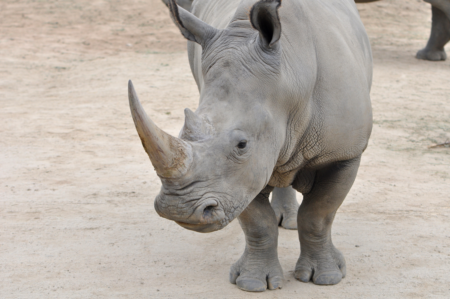 Could artificial insemination save the Northern White Rhinoceros (NWR) from extinction? A new genetic analysis of Southern and Northern White Rhinos could help pave the way for bringing NWRs back from the brink.