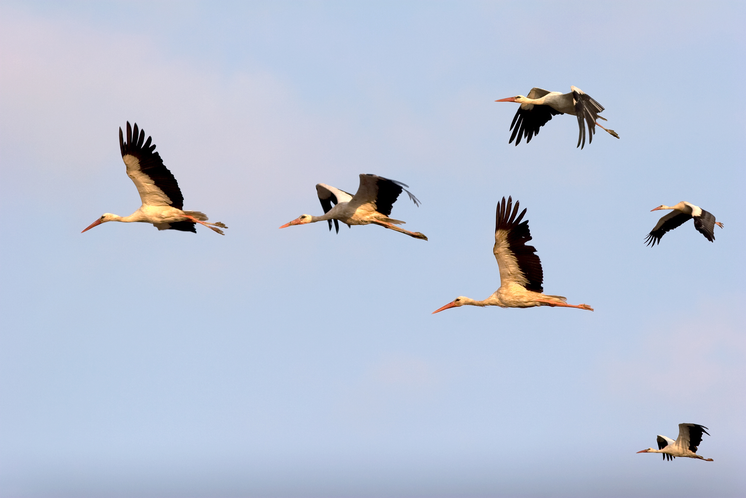 A new study has found that the storks at the head of the flock are most often the stronger, more efficient flyers.