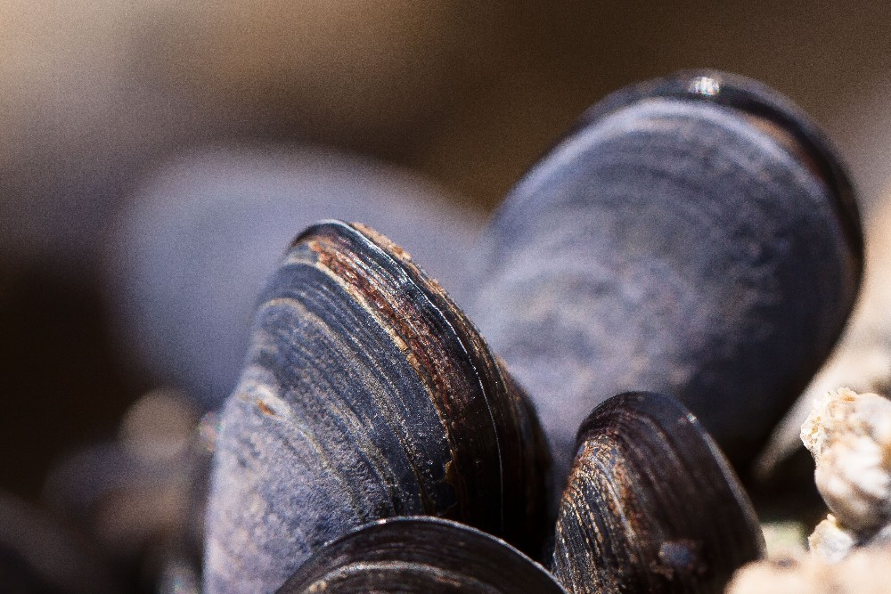 Scientists monitoring water pollution in Puget Sound have found trace amounts of oxycodone and other medications in mussels off the coast of Washington.