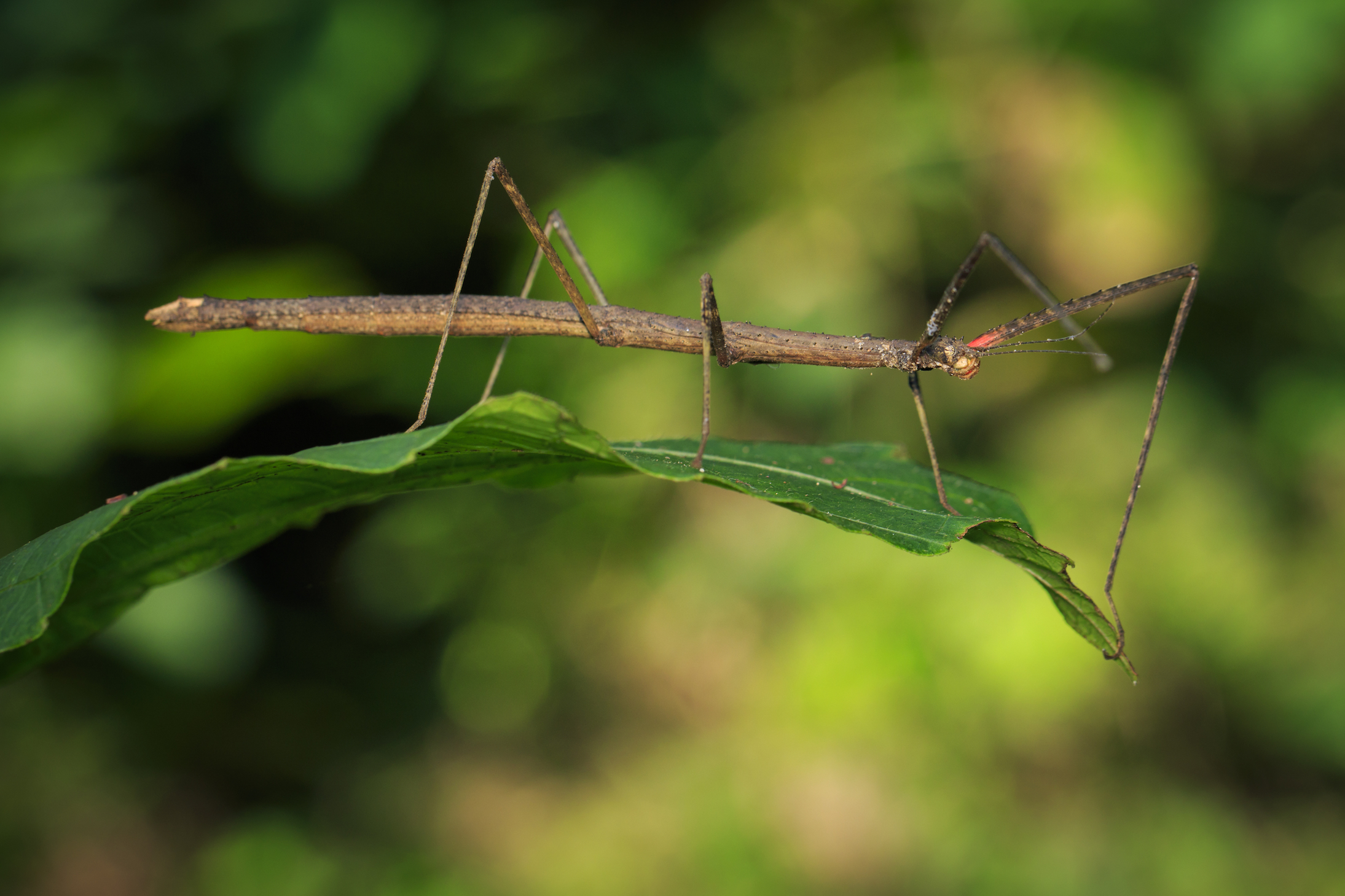 An investigation by researchers at Kobe University has revealed that some insect eggs can still hatch after being swallowed by a bird. The eggs of stick insects, for example, are hard enough to pass through a bird without being digested.