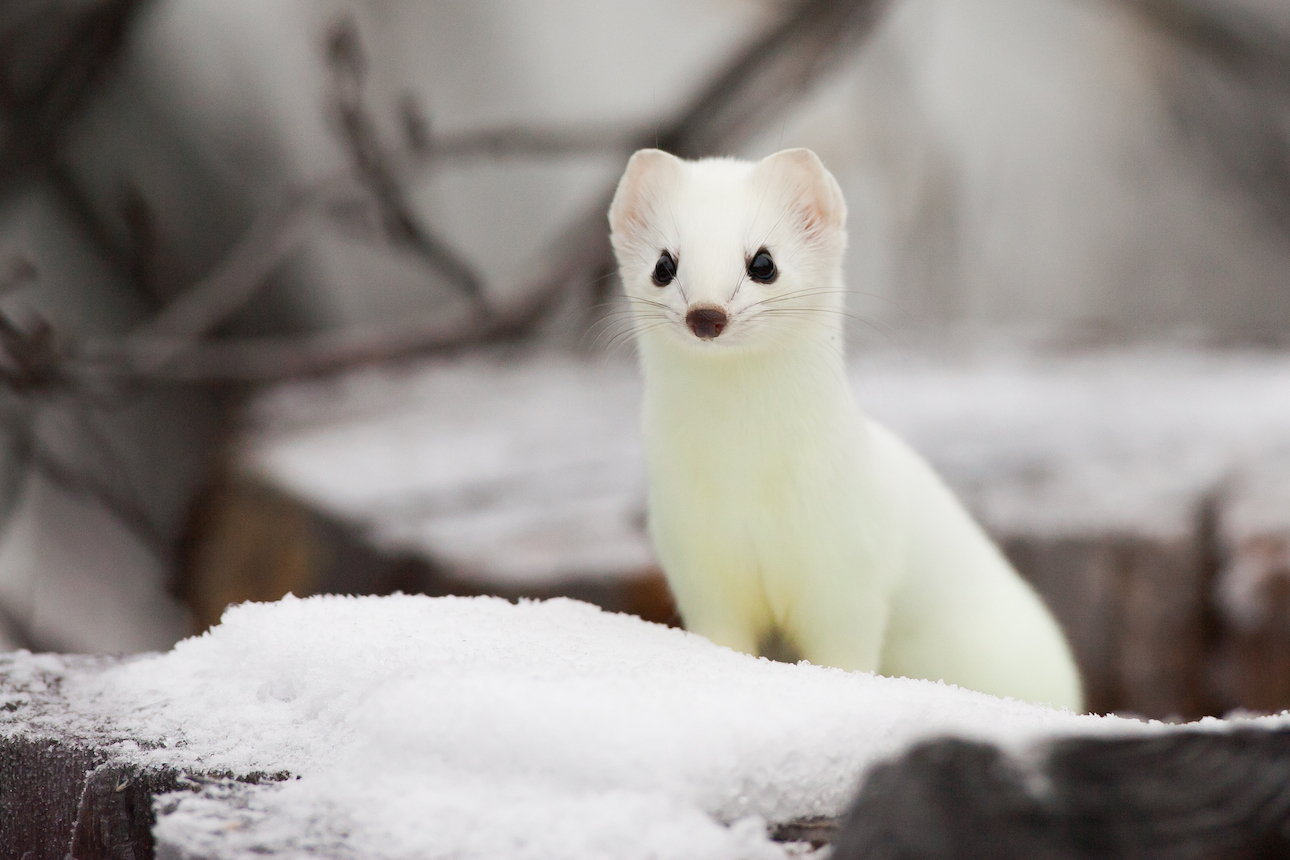 Researchers warn that animals with white fur are especially vulnerable to climate change, as reduced snow cover makes it difficult for them to evade predators.