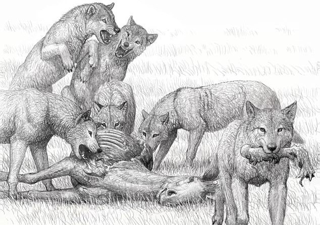 An analysis of fossilized feces from two million years ago is shedding new light on the hyena-like ancestors of dogs and wolves. The extinct species, Borophagus parvus, had a jawbone so powerful that it could crush the bones of its prey.
