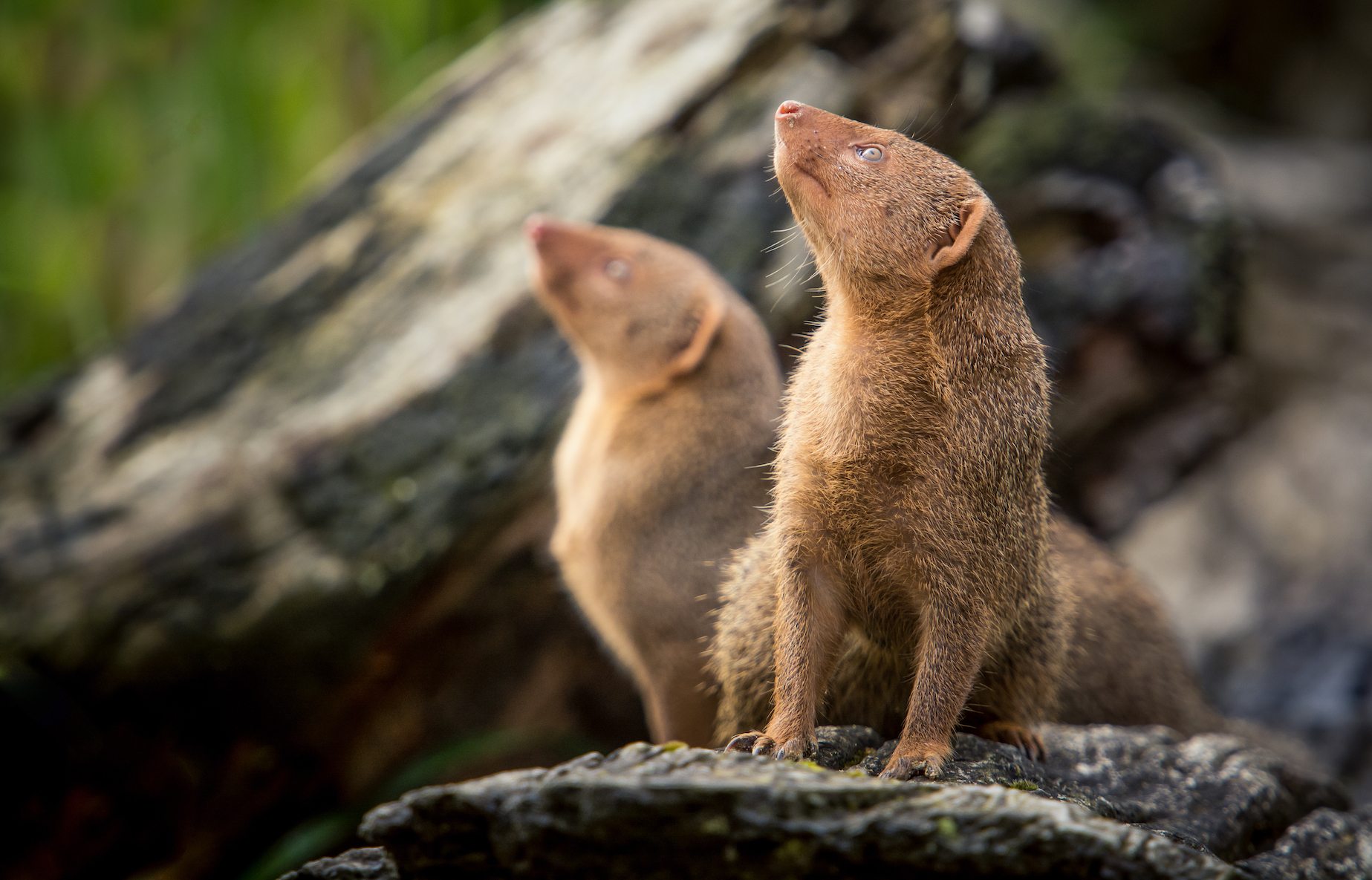 Researchers at the University of Bristol have discovered that dwarf mongooses make a point to remember when another individual helps them out.