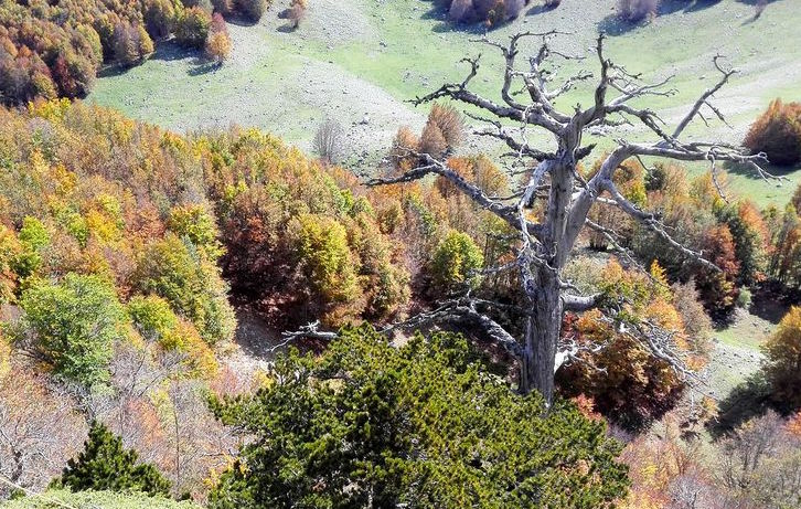 Researchers conducting an extensive four-year field survey in the Pollino National Park in Italy came across the oldest living tree in Europe and found that it's still growing.