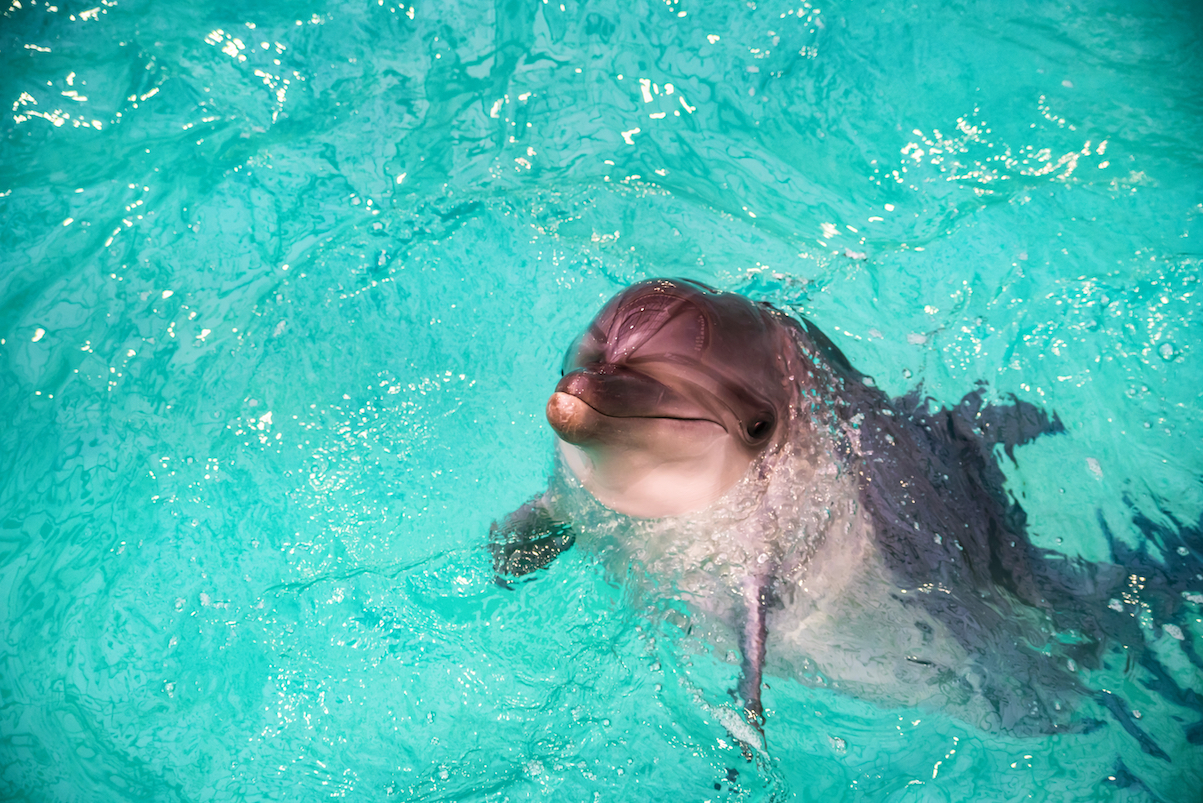 A new study revealed that dolphins who were born in captivity are quite content, especially with attention from familiar people.