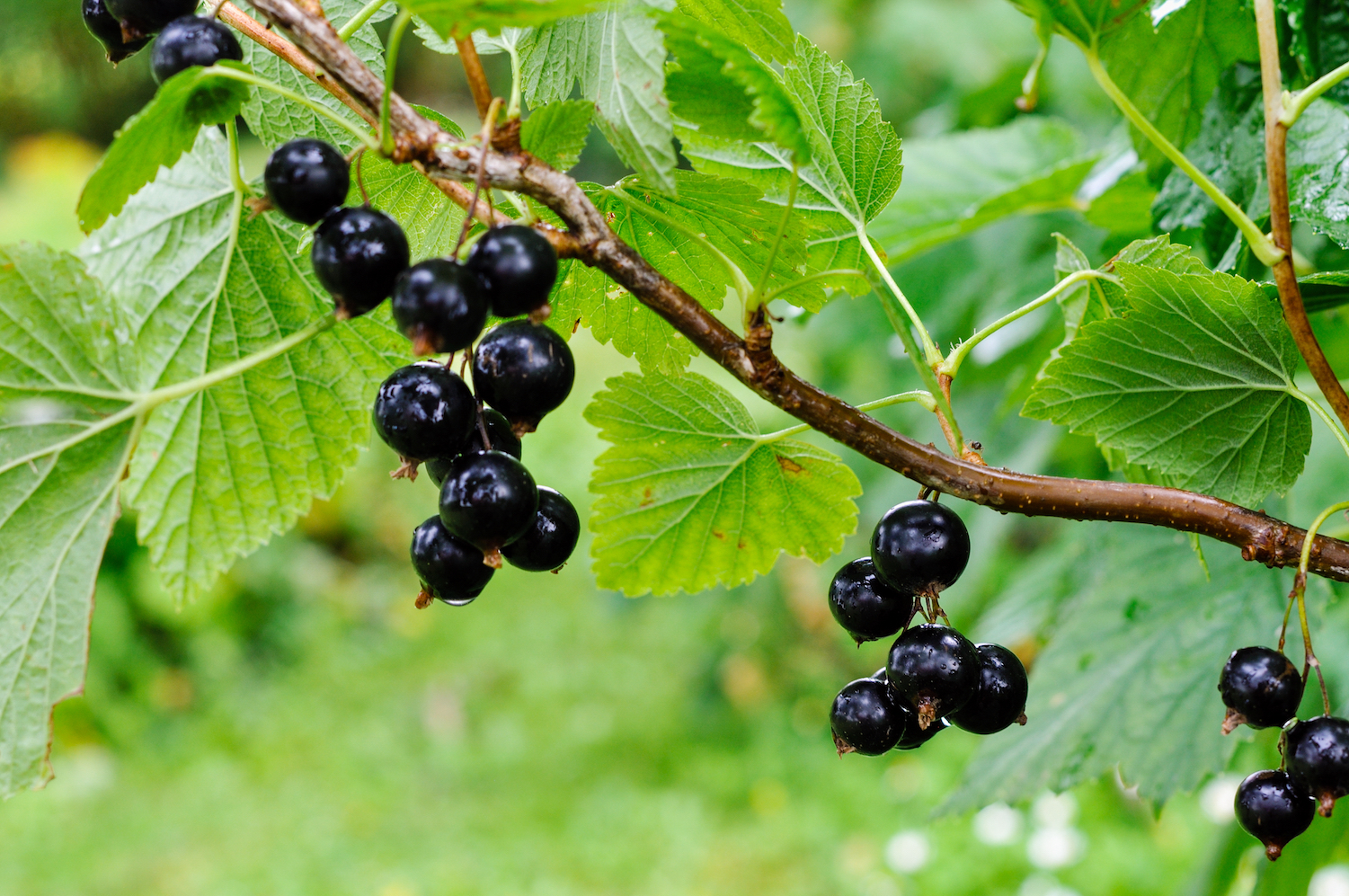 A team of experts from the University of Leeds have used natural dye extracted from blackcurrant waste to develop an effective new technology for coloring hair.