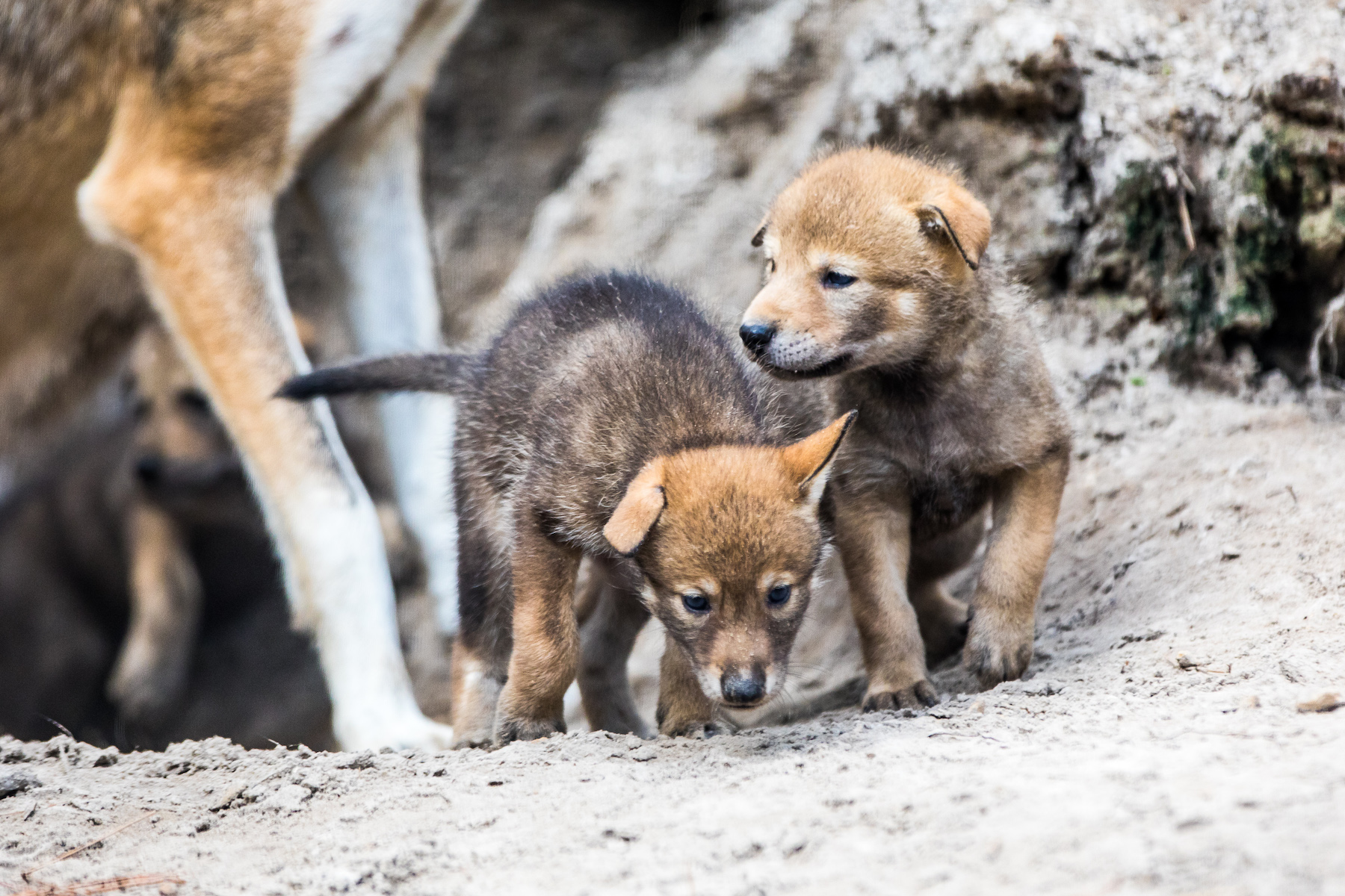 As of April 2018, the number of wild red wolves in the United States had dropped a staggering amount, from 120 to just 40. But recently, ZooTampa at Lowry Park in Tampa, Florida welcomed the addition of a litter of four red wolf pups.