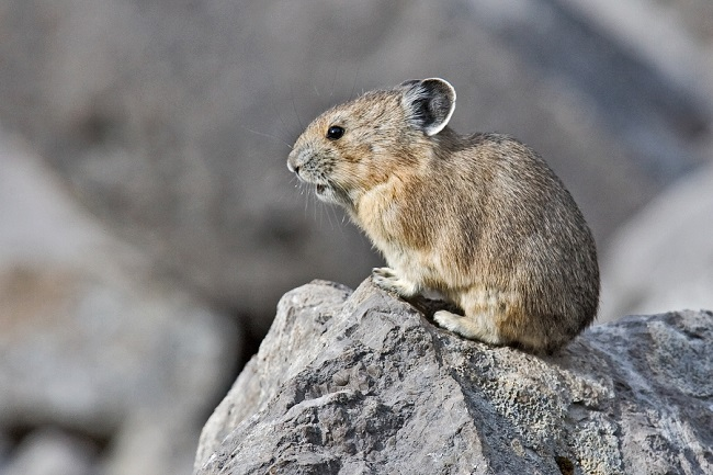 There have been concerns that global warming will pose a threat to the survival of American pikas, but the findings of a new study suggest otherwise.