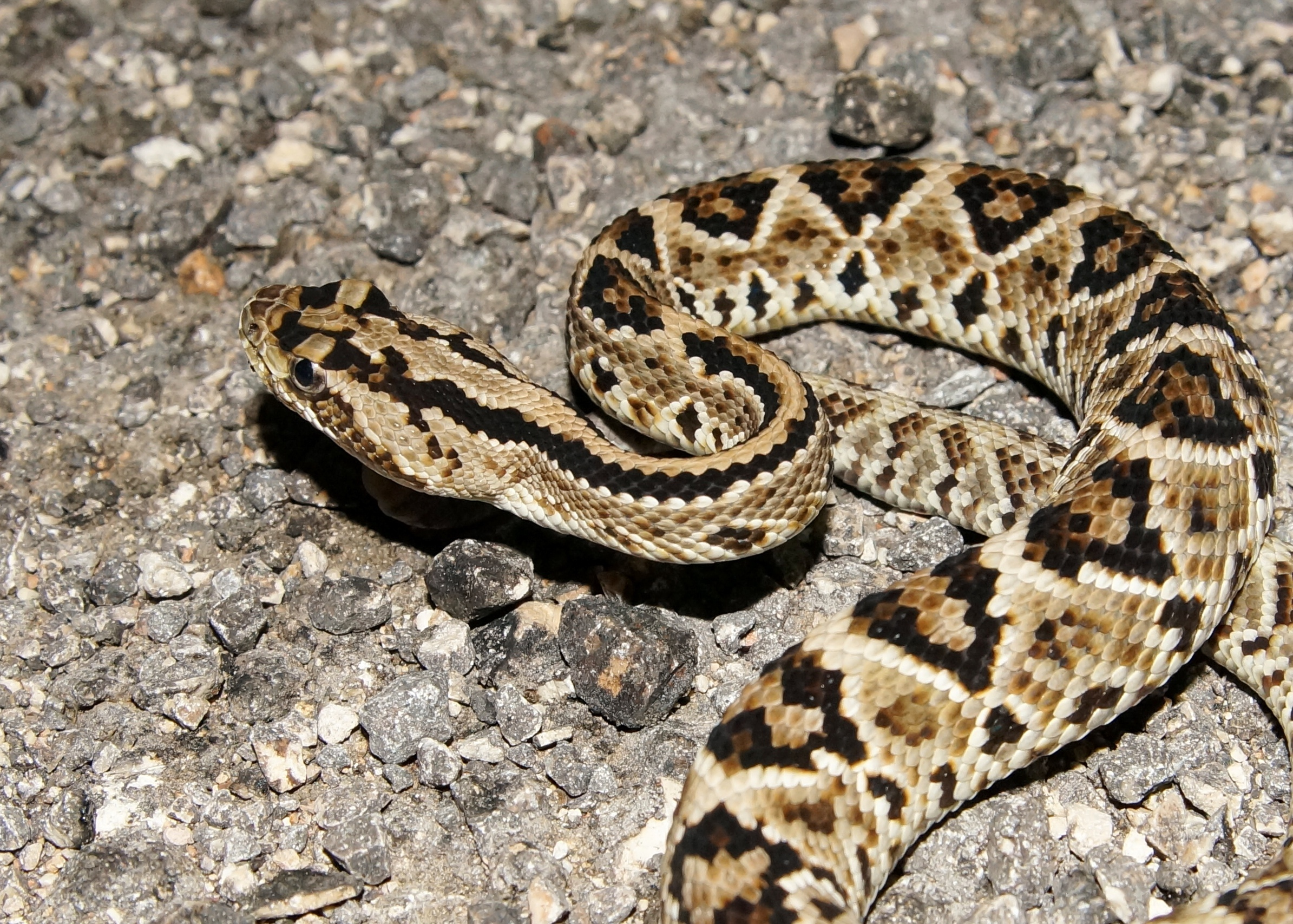 There are at least 32 species of rattlesnakes and 83 subspecies, divided between the two genera of Crotalus and Sistrurus. The thing that unites most rattlesnakes is their rattle, but this isn't so simple.