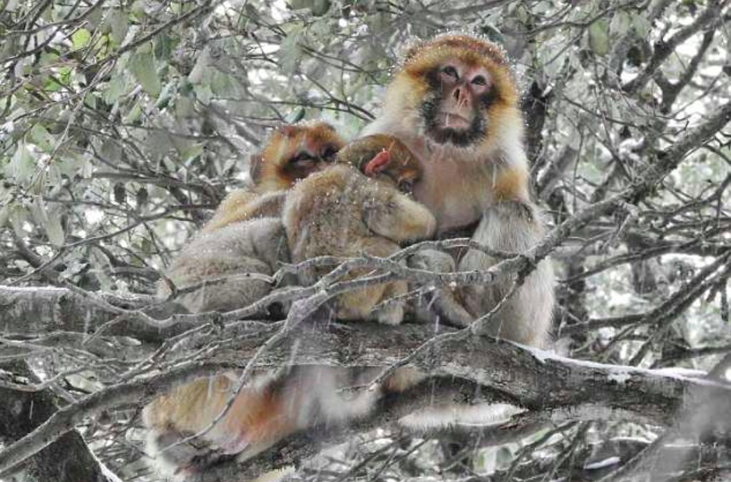 Experts have found that wild monkeys who have more social ties also have a better chance of surviving the cold winter months.