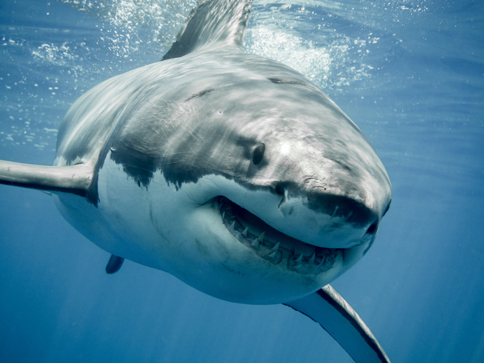 """According to a new study, the ability of sharks to detect tiny disturbances amid a """"blizzard of electric noise,"""" would be similar to a person having a level of hearing that would make a whisper sound like a foghorn."""