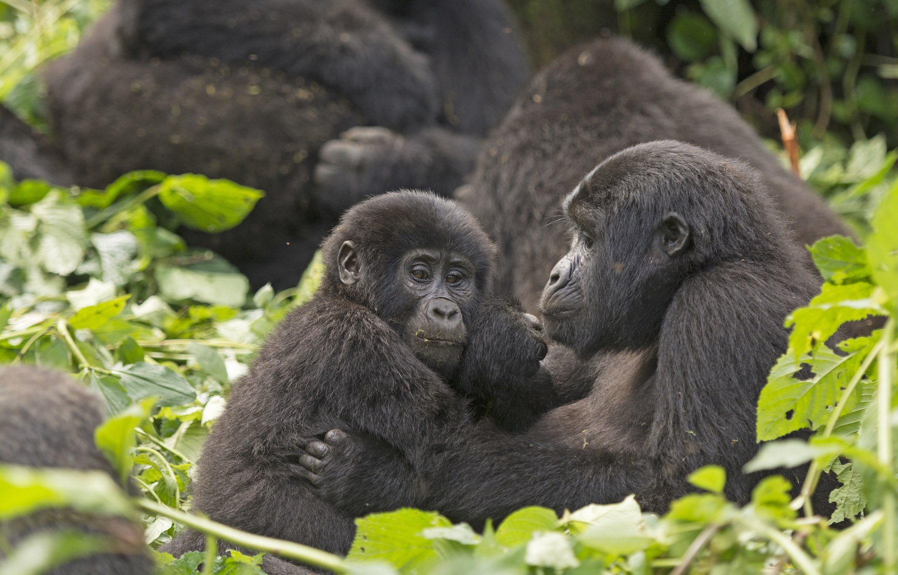 A recent survey has revealed that a population of mountain gorillas in East Africa has more than doubled in the last 30 years.