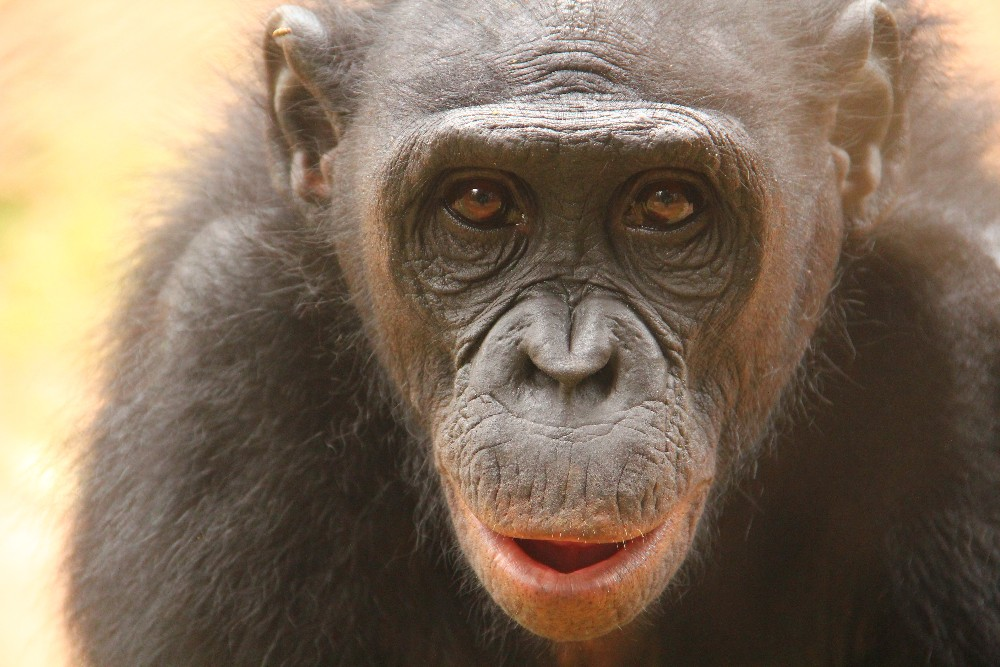 Scientists are studying bonobos to see how disgust evolved in humans and our closest cousins.
