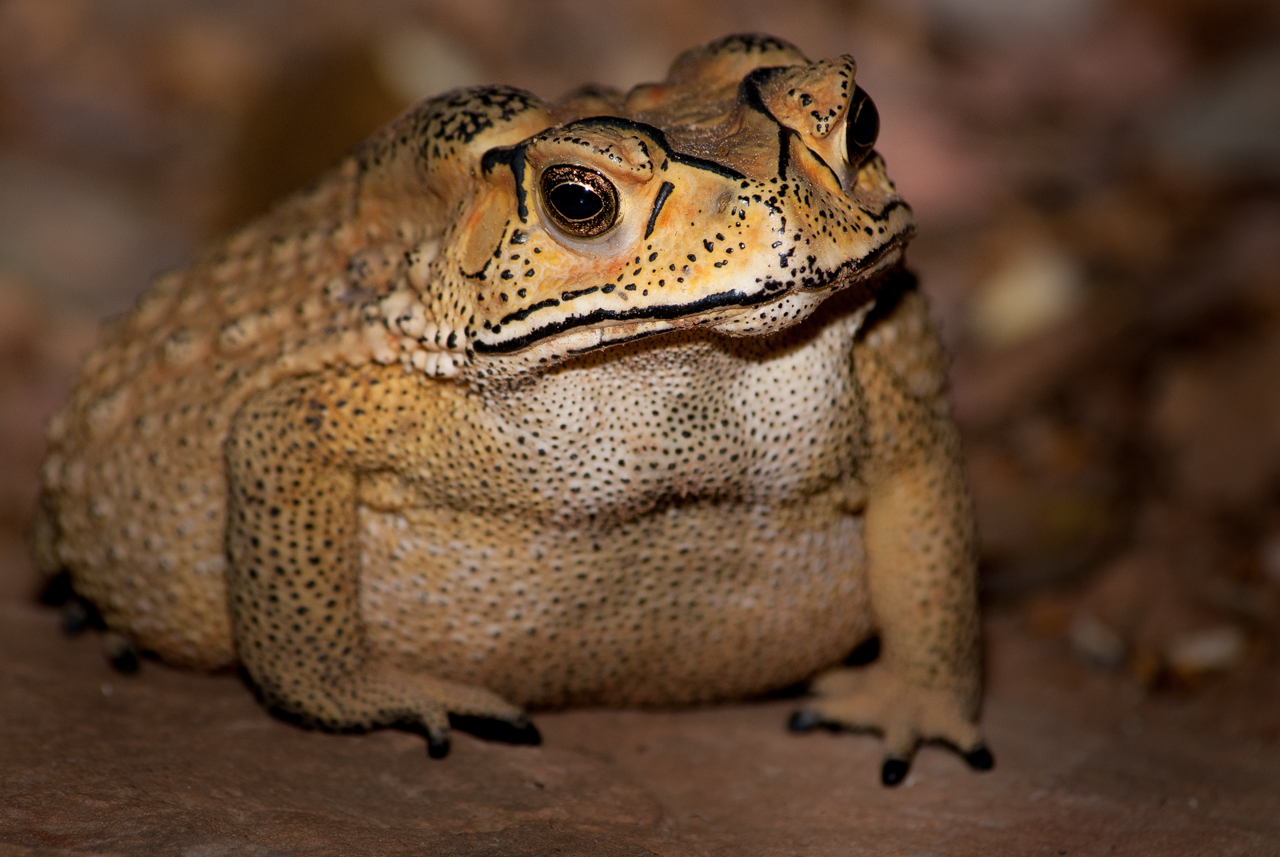 A new study has confirmed fears about the recent introduction of a toxic Asian toad to Madagascar, as native predators are highly sensitive to toad toxins, and could die from eating the toads.