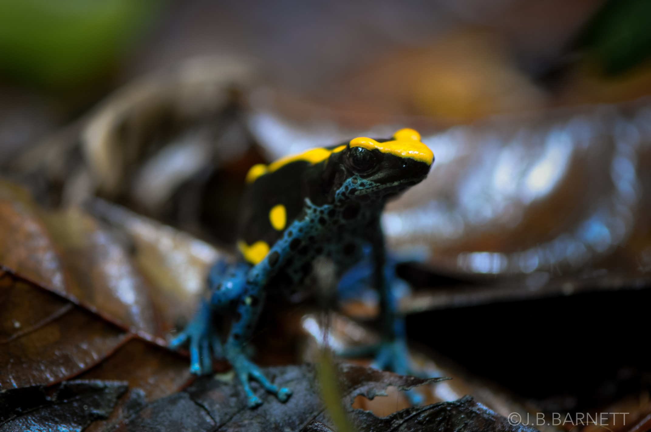 Scientists at the University of Bristol have found that the bright colors of the poison dart frog not only function as a way to ward off predators, but also serve as a second type of defense mechanism.