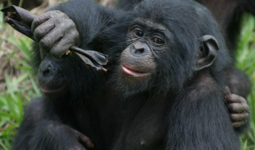 Turn-taking is used universally across languages and cultures, and some signs of it can be found in all clades of the primate lineage.