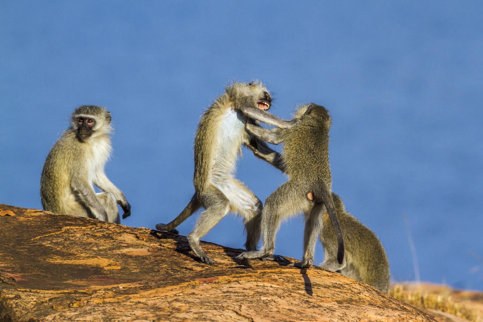 A team of anthropologists at the University of Zurich have found that male vervet monkeys attack members of their own group in order to prevent the escalation of fights. The females, on the other hand, encourage the males to fight.