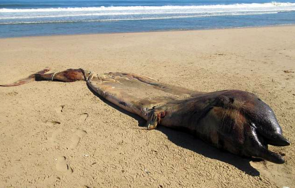 A rotting carcass recently discovered on the coastline of Dorob National Park in Namibia at first had scientists puzzled. It was not clear what species the animal belonged to due to the badly decomposed state of the body.