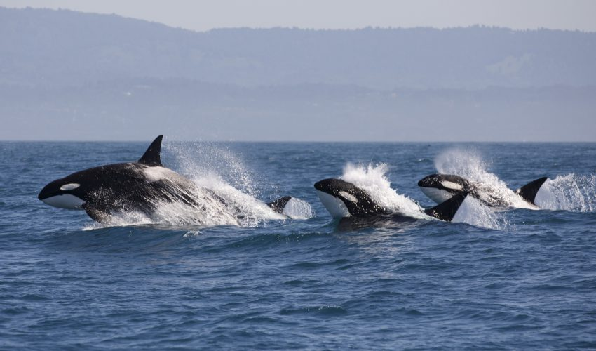 Marine mammals may be able to sense when a killer whale is on the hunt simply by hearing its calls, a new study has found.