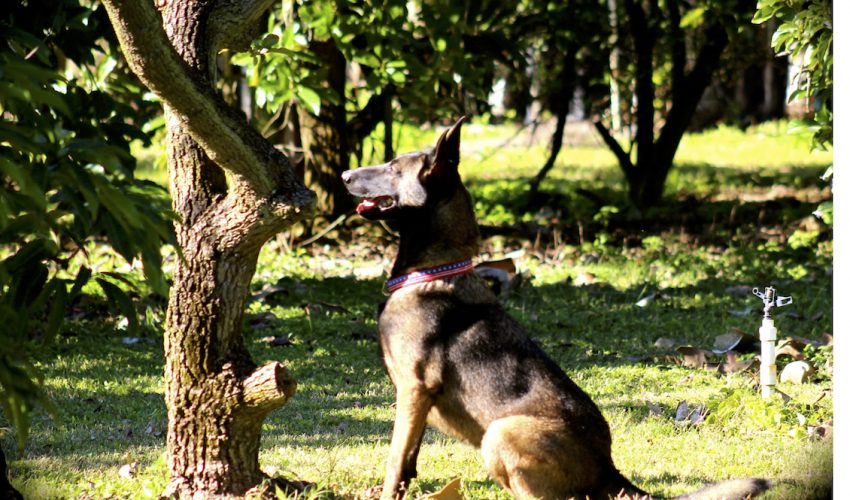 Dogs could be an asset to the avocado industry and detect early signs of disease in groves by sniffing laurel wilt disease in trees.