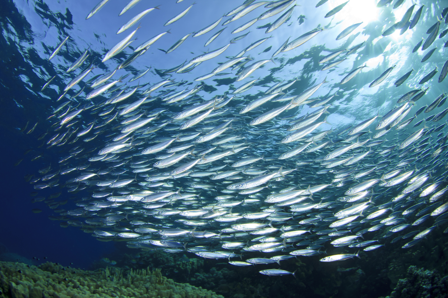 If forage fish continue to be farmed at the current rate, their populations will be overextended by the year 2050 or possibly even sooner.
