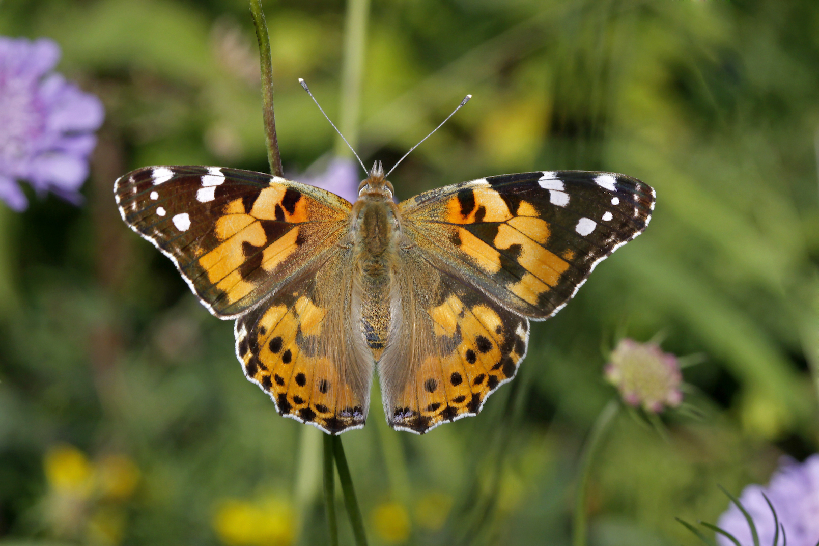 The painted lady butterfly makes the longest known migration of any butterfly to date, according to new research.