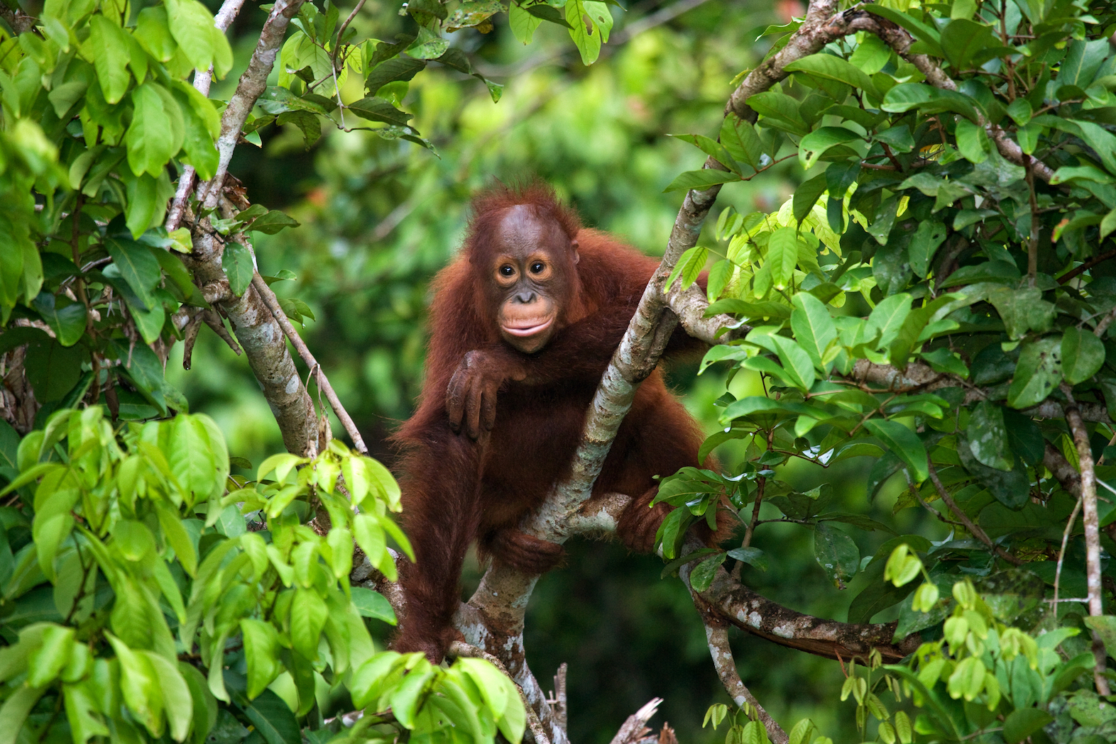 The natural habitats of primates could decline by up to 78 percent this century across regions where the animals are commonly found.