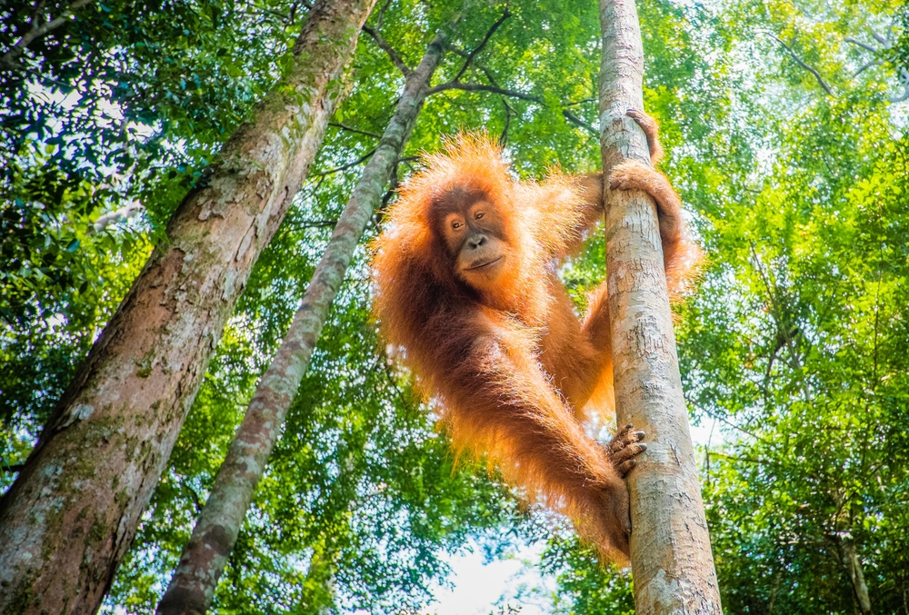 An orangutan hangs from a tree in Indonesia. Extinction looms for non-human primates in Indonesia and three other countries if human activity expands at its current rate.