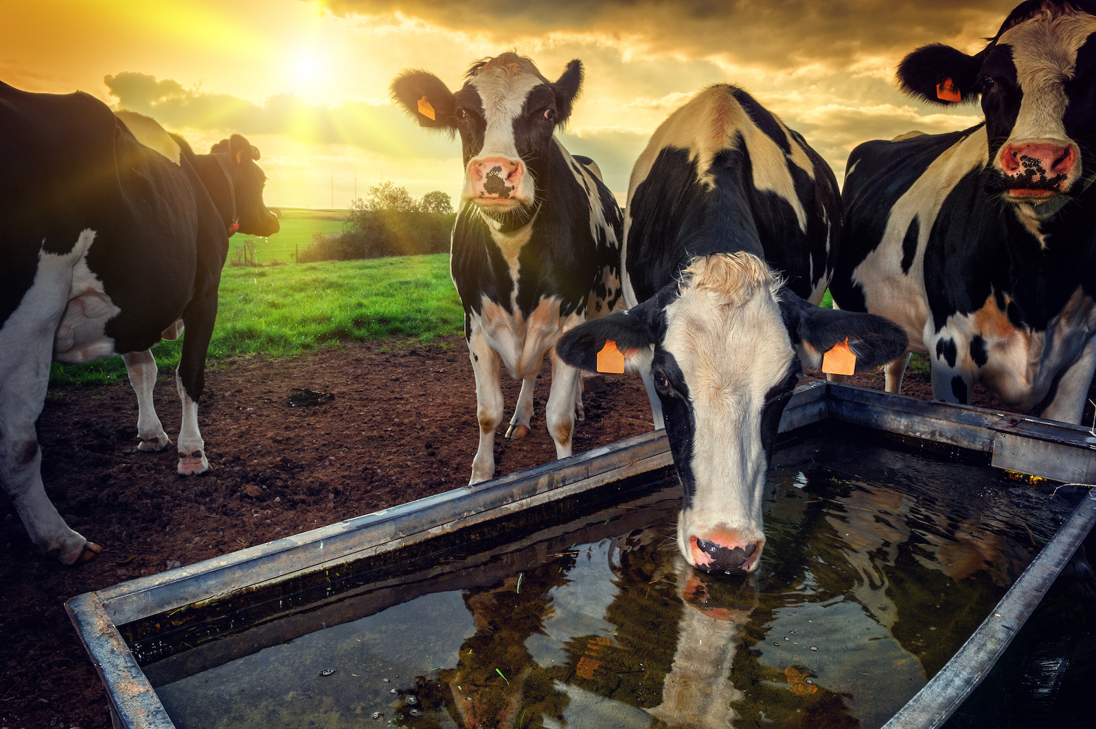 Livestock is the largest user of land resources and production of feed represents almost 80 percent of Earth's total agricultural land.