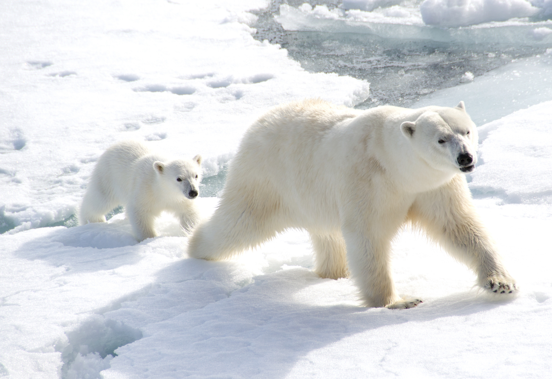 Polar bears are efficient travelers and consume the same amount of energy as grizzly bears and other large animals when they walk.