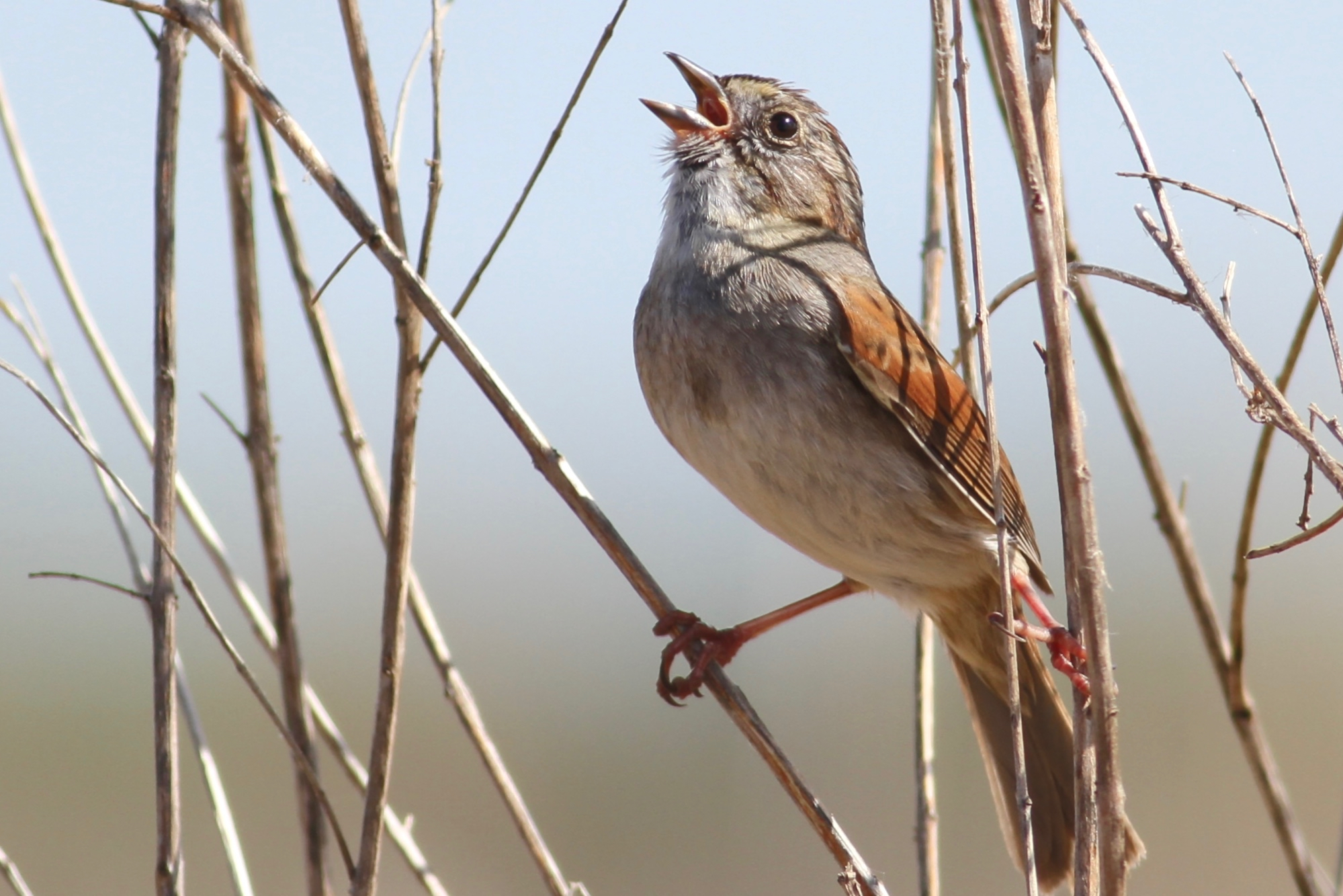 Researchers at Duke University have found a species of birds that has a tradition of passing songs down from one generation to the next.
