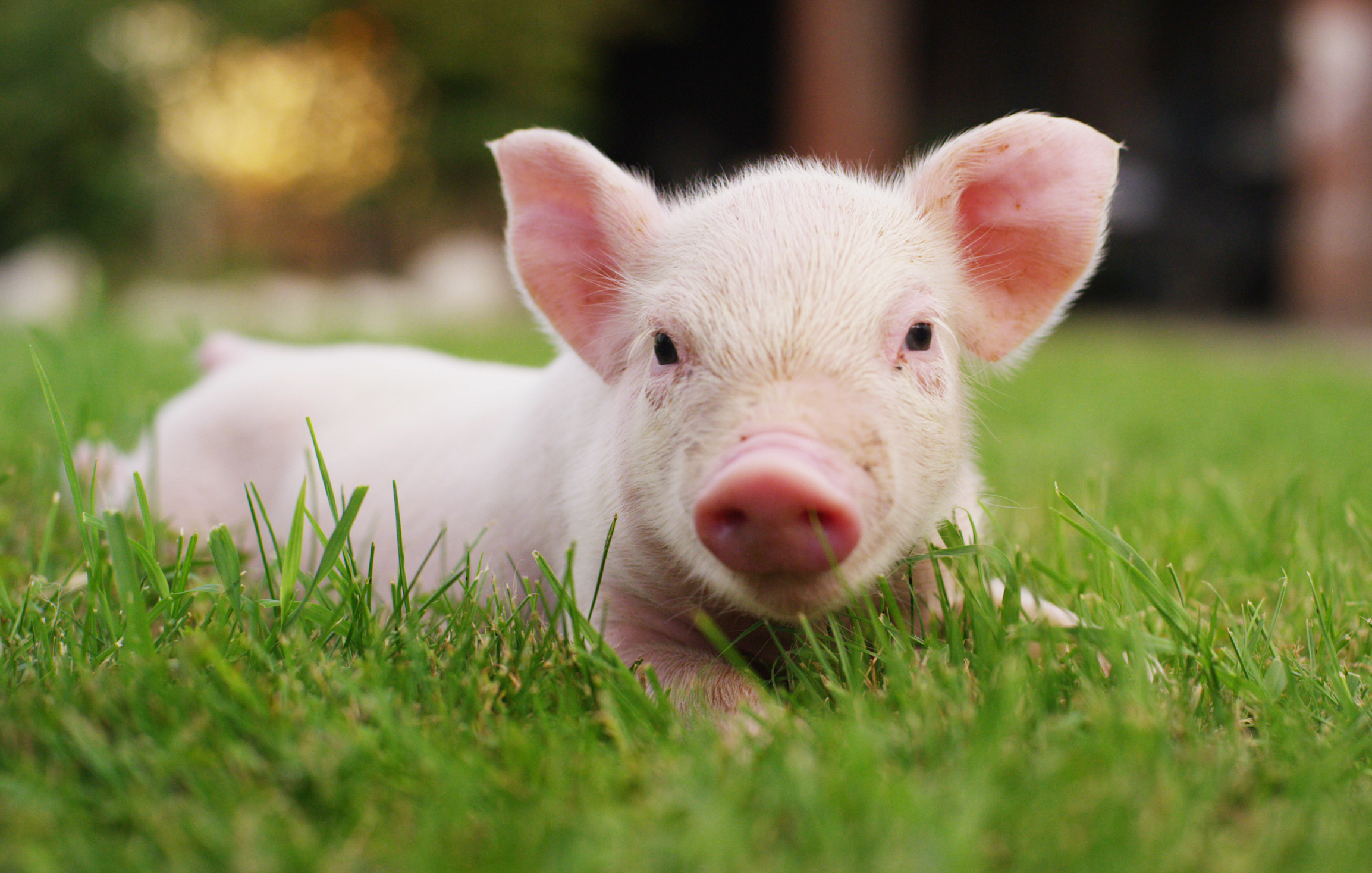 Scientists have used a gene-editing technique to create pigs that are resistant to one of the world's most costly animal diseases.
