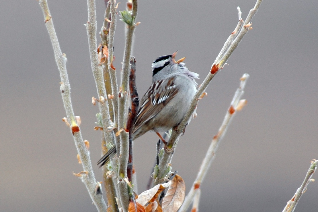 Researchers used field recordings from Alaska' North Slope to create an algorithm that could calculate when songbirds migrate to the area.