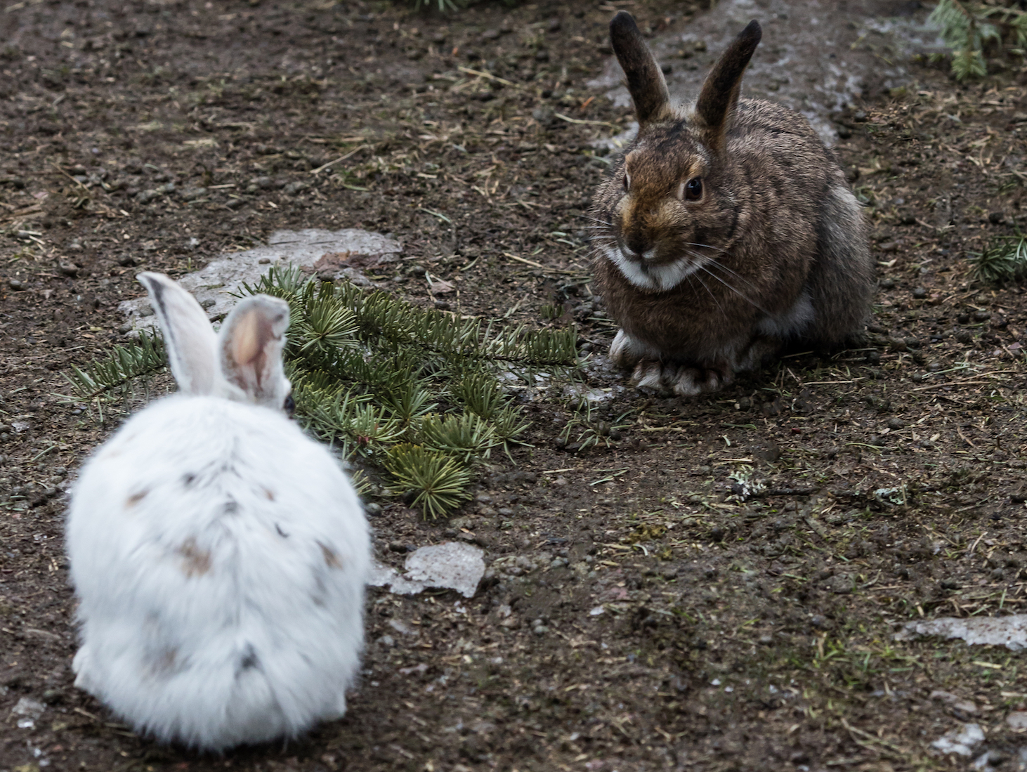 A team of scientists has found that snowshoe hares have inherited the ability to produce brown coats through hybridization with jackrabbits.