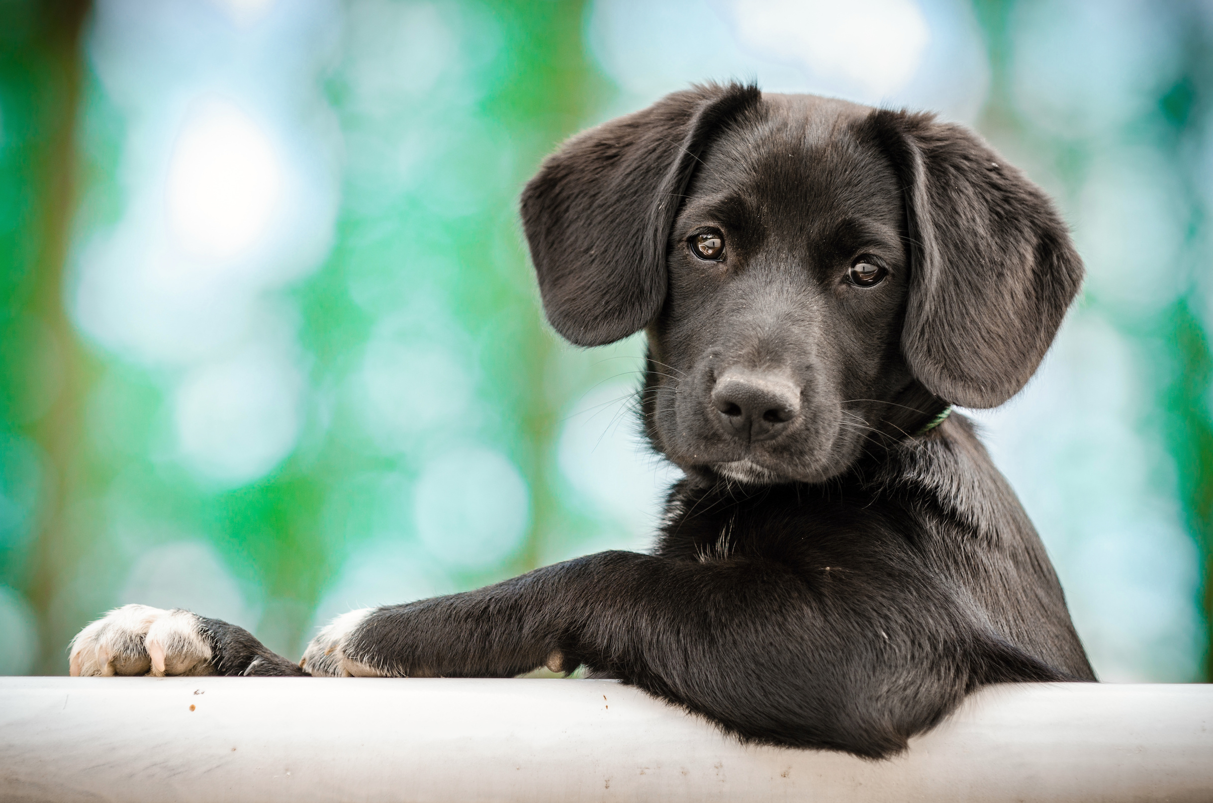 Researchers have found that puppies begin to trust humans for guidance when they are as young as two months old.