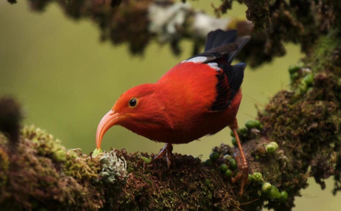 Researchers say that the current threat against birds in Hawaii is almost entirely due to human activity.