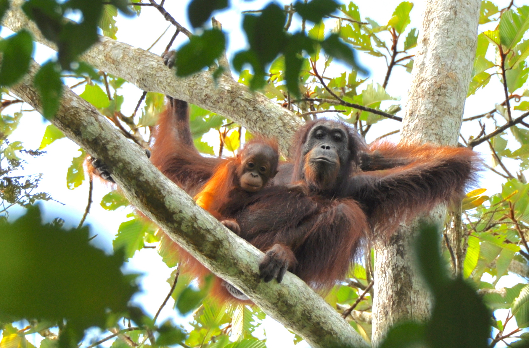Human actions have fundamentally shaped the orangutan over thousands of years and impacted conservation efforts in the process.