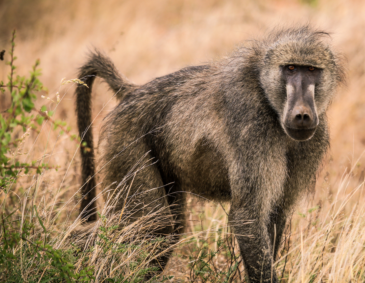 The presence of humans changes the structure and function of gut microbial communities among non-human primates like baboons.
