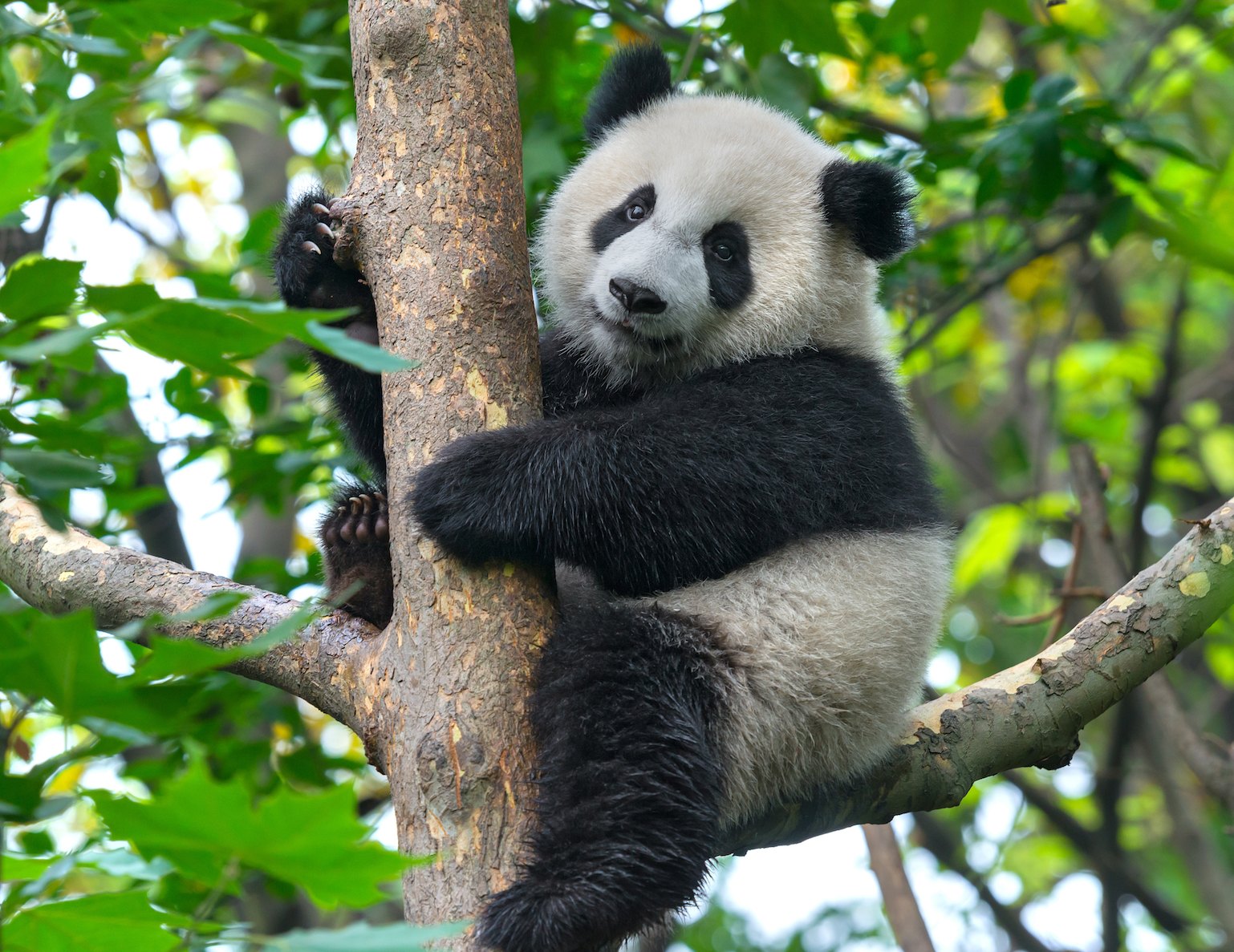 A new study has found that panda conservation actually has significant value that extends beyond protection of the pandas themselves.