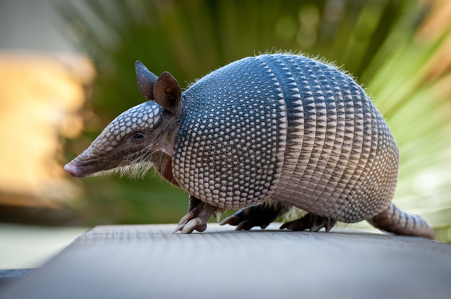 62 percent of armadillos in the Brazilian Amazon have leprosy and people in that region face an increased risk of contracting the disease.