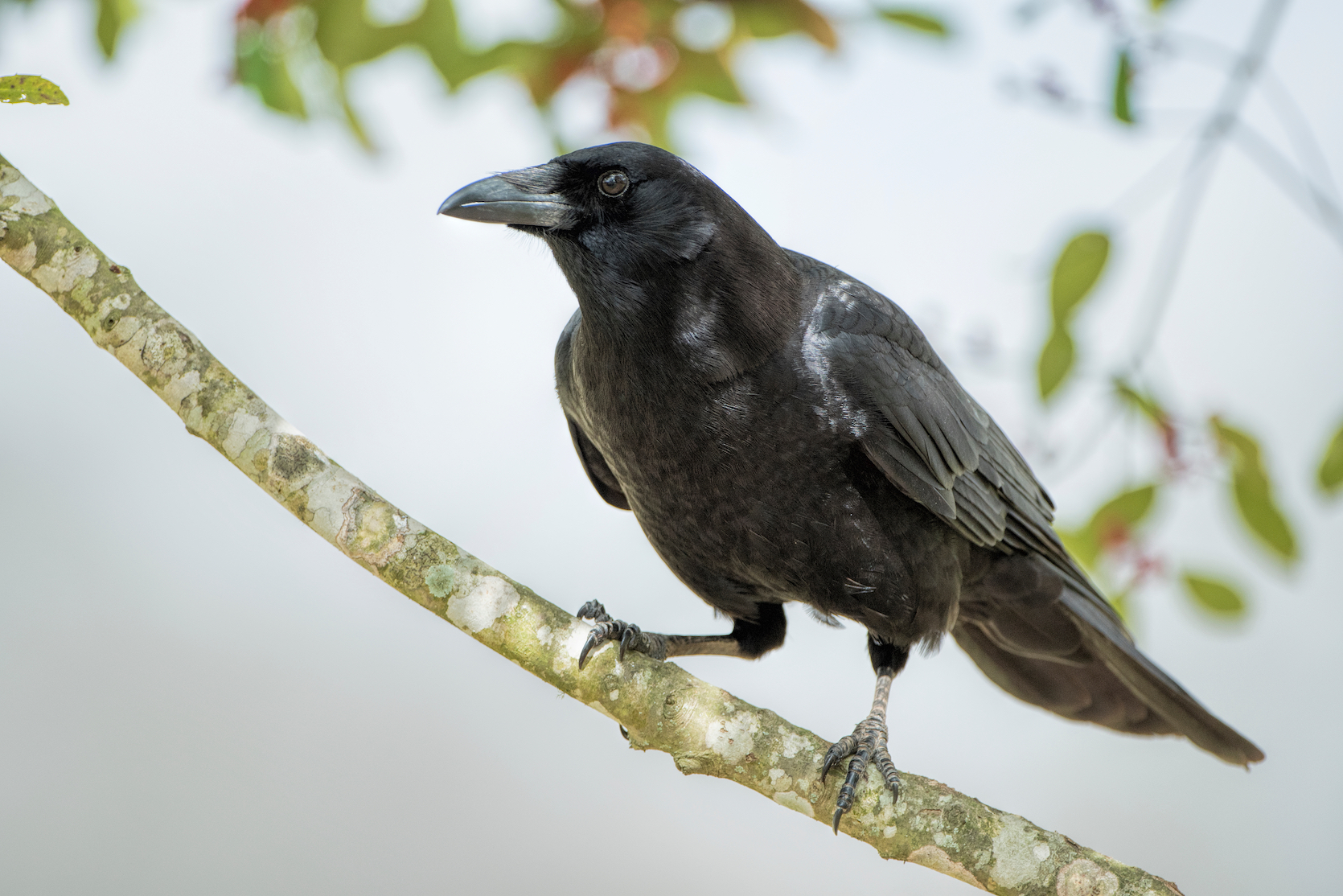 New research has revealed that crows are intelligent enough to construct their own tools from memory and even refine them over time.