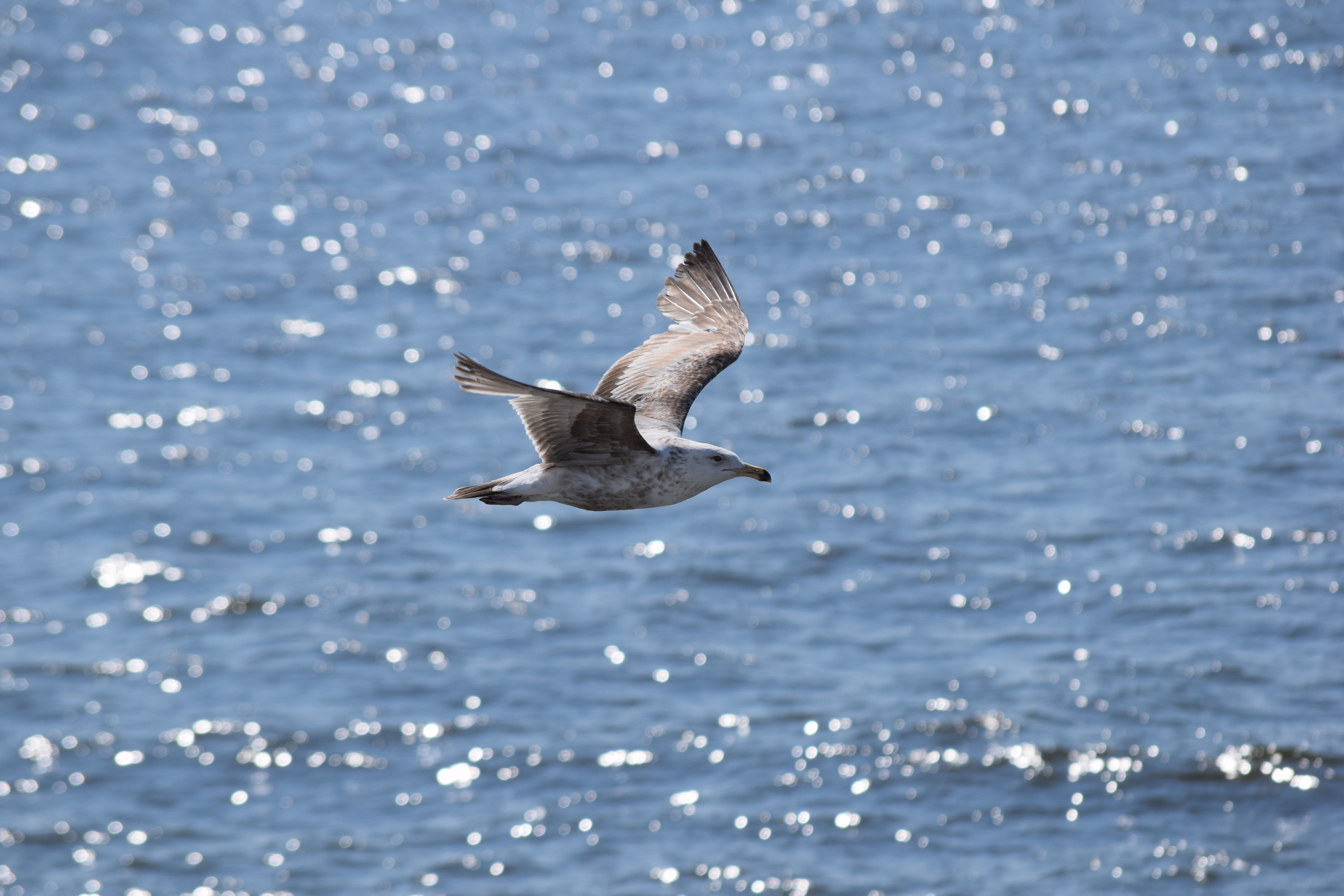 Researchers are working to stay ahead of the flu by collecting samples from migrating seabirds who make a pitstop in Delaware Bay.